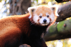 Red (Waterfall Guy) Tags: red zoo panda knoxville tennessee eaast