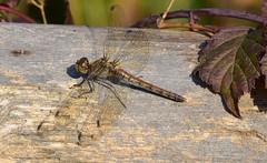 Gemeine Heidelibelle, Sympetrum vulgatum, Weibchen (staretschek) Tags: weibchen sympetrumvulgatum gemeineheidelibelle segellibelle groslibelle