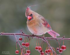 A Bad Hair Day (Project...365) Tags: bird birds female canon backyard feather feeder molt tamron 6d northerncardinalcardinaliscardinalis 150600