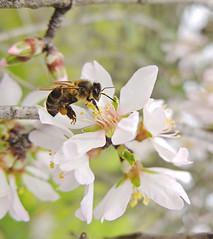 _ A trabalhar/In work (victorbr.foto) Tags: flower macro tree portugal landscape fuji almond alentejo honeybee x10 faunapaisagem