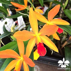 Slc Ginny Champion Cinnamon #orchids #Orchidee #Orchideen #Orchideengarten #orchideen #orkider # #orqudea #orchidstagram #instaorchids #instaflowers #nature #naturelovers #instanaturelovers #orchidlovers #instagardenlovers #iloveorchids #flowers (orchideengartenkarge) Tags: flowers flores orchid flower orchids blumen blume orquideas orchideen orkideer orchideengarten