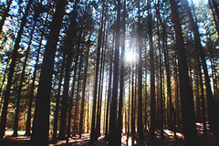 (nic lawrance) Tags: trees light shadow sun nature lines woodland shine warmth cotswolds gloucestershire pines