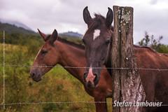 Pedro de Toledo (Stefan Lambauer) Tags: brazil horse nature field brasil br interior sãopaulo burro campo jumento animais cavalo 2016 pedrodetoledo stefanlambauer