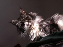 A Feline Gaze (C x 2) Tags: cute sunshine cat grey whiskers mainecoon lookingdown gaze overtheedge mukki
