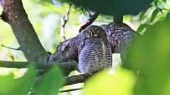 More from day 15 Sri Lanka (jaytee27) Tags: srilanka jungleowlet naturethroughthelens