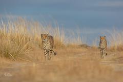 Let's walk together (ClaudiB.) Tags: nature animal animals tiere nikon wildlife wildanimal cheetah cheetahs tier gepard geparden nikond7100