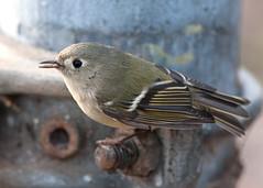 Hello, Ruby (martytdx) Tags: birds female lifelist nj regulus trenton flycatcher rubycrownedkinglet reguluscalendula kinglet trophyshot regulidae trentonsewerworks