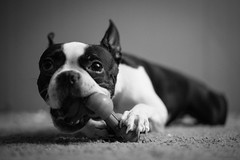 I Love Story (pooshda) Tags: shadow bw white black boston contrast zeiss toy bostonterrier dof action bokeh sony dramatic pug bulldog depthoffield 55mm frenchie frenchbulldog shallow alpha f18 drama sonnar