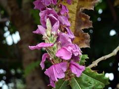 Acanthus pubescens flowers (dracophylla) Tags: acanthaceae royaltasmanianbotanicalgardens acanthuspubescens
