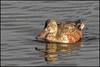 Shoveler (Male) (John R Chandler) Tags: uk male bird duck unitedkingdom coventry westmidlands shoveler warwickshire wildfowl anasclypeata eclipseplumage brandonmarsh warwickshirewildlifetrust