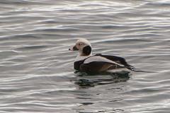 Long-tailed Duck (Jim McCree) Tags: january breakwater 2016 rocklandmaine longtailedduck clangulahyemalis