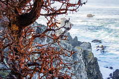 Point Lobos (The Charliecam) Tags: ocean california seascape landscape monterey pacific cliffs lichen cypresses pointlobosnaturereserve sonyalpha580