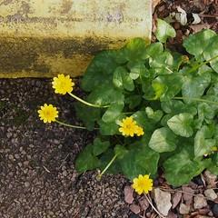 Lesser Celandine (ranunculus ficaria) (Lamerie) Tags: plant flower square linux wildflower pinta ranunculusficaria lessercelandine