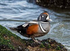 Harlequin Duck (b88harris) Tags: ocean park new winter lighthouse male duck nikon state jetty atlantic 300mm jersey inlet migration barnegat tides harlequin d7200