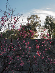 Early plum blossoms at the Imperial Palace Garden (Big Ben in Japan) Tags: japan tokyo ume plumblossoms imperialpalacegarden