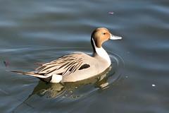 onagagamo_dsc_2813 (takao-bw) Tags: bird japan duck aves waterfowl 鳥 northernpintail カモ 水鳥 オナガガモ