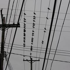 Urban intersections (Daniel Weeks) Tags: pigeon telephonelines telephonepoles telephonewires rockpigeon rockdoves