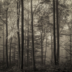 * (sedregh (on/off)) Tags: autumn mist fog forest landscape woods herbst eifel landschaft wald