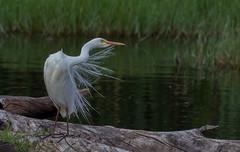 Intermediate Egret ( Mesophoyx intermedia)-2909 (rawshorty) Tags: birds australia canberra act rawshorty