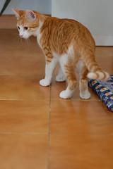 Gato Jinks  (20) (adopcionesfelinasvalencia) Tags: gato jinks
