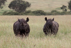 Mama and daughter rhinos (scrambldmeggs) Tags: africa travel mom kenya young safari mara rhino rhinoceros blackrhino maasaimara blackrhinoceros