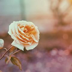 (vahiinee) Tags: roses flower fleur colors rose plante bokeh olympus olympuspen olympuscamera getolympus mzuiko45mm mzuiko45