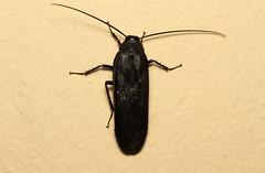 Deropeltis erythrocephala  (Cockroach) (Nick Dean1) Tags: insect southafrica insects animalia cockroach arthropoda krugernationalpark arthropod hexapod insecta hexapods hexapoda deropeltis deropeltiserythrocephala