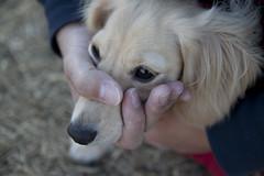 IMG_5173 (yukichinoko) Tags: dog dachshund 犬 kinako ダックスフント ダックスフンド きなこ