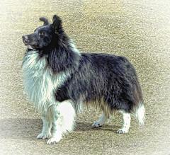 Bi-Black Shetland Sheepdog (Edward Saksenhaus RPh.) Tags: dog sheltie sheepdog canine shetland showdog biblack