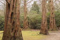 Trunks (Sara@Shotley) Tags: trees woodland garden trunk sequoia dawnredwood