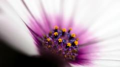 burst (zzra) Tags: white flower macro up field yellow close purple shallow depth
