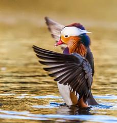 Water walker (Steve-h) Tags: park ireland  dublin nature water colors birds walking wings pond colours feathers mandarin acrobat upright drakes bushypark steveh