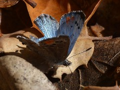 Sonoran Blue (Philotes sonorensis) butterfly on fallen leaves of Coast Live Oak (Treebeard) Tags: california butterfly lepidoptera santabarbaracounty dudleya lycaenidae sanmarcospass fagaceae quercusagrifolia polyommatinae coastliveoak philotessonorensis sonoranblue