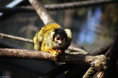 Ouistitis (DoddieElodie) Tags: france zoo hiver alsace primate singe mulhouse ouistiti