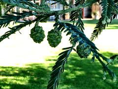 Redwood Cones (RobW_) Tags: saturday hydro redwood february stellenbosch cones westerncape 2016 27feb2016