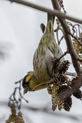 Eurasian siskin (Carduelis spinus) Sijs (RonW's Nature Photography) Tags: bird netherlands canon europe nederland birdwatching binding vogel siskin carduelisspinus carduelis spinus 100400 sijs