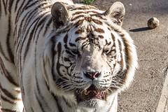 white tiger (Ssnke86) Tags: madrid zoo tigre tigreblanco