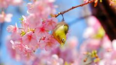 DSCF4124_sft2ct (naofumitaguchi) Tags: メジロ naofumitaguchi sakura bird tokyo japan xm1 fujifilm 富士フイルム 日本 東京 桜 mejiro japanese whiteeye