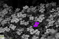 You are special... (Dominik Dilger) Tags: flowers plants flower macro canon outside spring focus outdoor pflanze pflanzen violet sigma explore blume frühling schärfentiefe horned hornveilchen tiefenschärfe doubled 1750mm canon600d