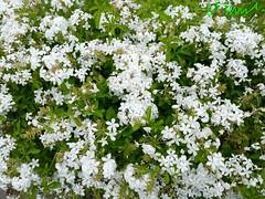 White Plumbago Branco, El Salvador (ssspnnn) Tags: elsalvador plumbago plumbaginaceae sansalvador plumbagoauriculata whiteplumbago iphone6 spereiranunes snunes spnunes