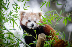 Red Panda (Mathias Appel) Tags: red orange cold tree cute green feet nature face animal animals female vintage germany fur nose deutschland foot zoo spring high paw firefox nikon gesicht jung panda sweet bokeh weekend wildlife tail mozilla natur young adorable ears bamboo iso species endangered paws sues tierpark baum fell nase kleiner tier frhling suess wochenende niedlich schwanz roter ohren 2015 weiblich jungtier ss ailurus bedroht tierart fulgens d7000 bedrohte grn
