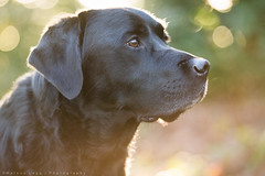 Glow. (Marcus Legg) Tags: trees dog pet black max forest canon fur outdoors eos woods shiny labrador bokeh retriever glossy blacklabradorretriever magicdrainpipe ef80200mmf28l 1dmarkiv marcuslegg