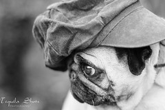 Gansta Pug (tequilashots_photography) Tags: nottingham face photography funny shots kay pug tequila rap midlands gansta corominas