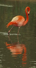 Caribbean Flamingo and Reflection - Chester Zoo (Gilli8888) Tags: reflection birds animals zoo cheshire flamingo chester caribbeanflamingo chesterzoo zoopark zooanimals