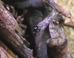 Impossibly Dark (tessab101) Tags: blue mountains spider jumping arachnid reserve australia nsw sassafras gully salticid salticidae