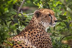 south-african cheetah (Acinonyx jubatus jubatus) (delimaaaaaaaaa) Tags: africa trip southafrica safari viagem cheetah chita krugerpark reserva gamereserve frica safri guepardo fricadosul