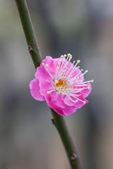 Higashiyama20160221c (FJK80046) Tags: flower plum  ume  aichi   higashiyama   higashiyamabotanicalgarden