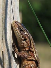 Lizard on Lizard