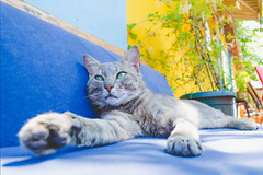Pablo, the grey cat (PhotosByDaniela) Tags: animal cat belgrade graycat greycat photosbydaniela