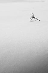 Fiore spezzato 1 (Zanna33) Tags: macro lago neve daniela ritratto appennino ghiaccio calamone ventasso